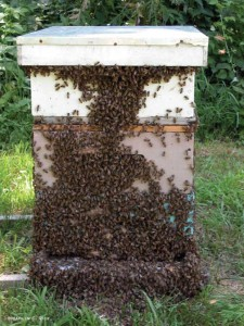 Remove Honey Bees | Honey Bee Swarm Removal