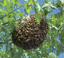 Remove Honey Bee Swarms Georgia Honey Bee Swarm Removal Georgia