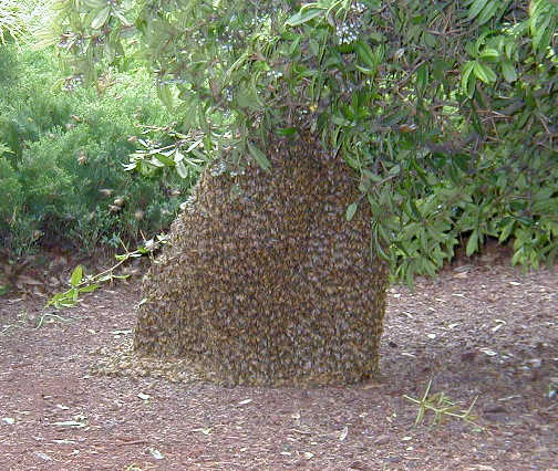 Remove Honey Bee Swarms Atlanta Honey Bee Swarms Atlanta