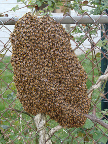 Remove Honey Bee Swarms Atlanta Honey Bee Swarm Removal Atlanta